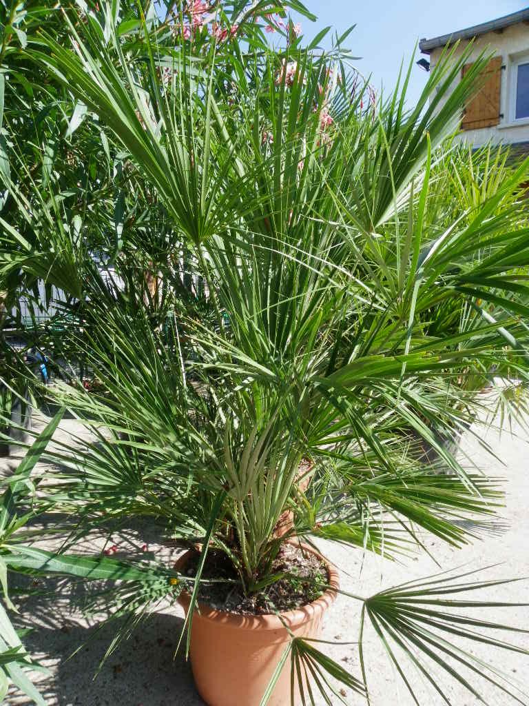 Arbuste Nain Persistant Plein Soleil chamaerops humilis - palmier nain - garden center fleury fils